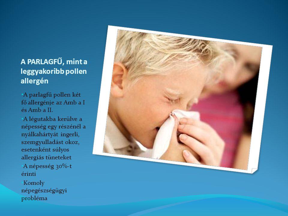 A PARLAGFŰ, mint a leggyakoribb pollen allergén