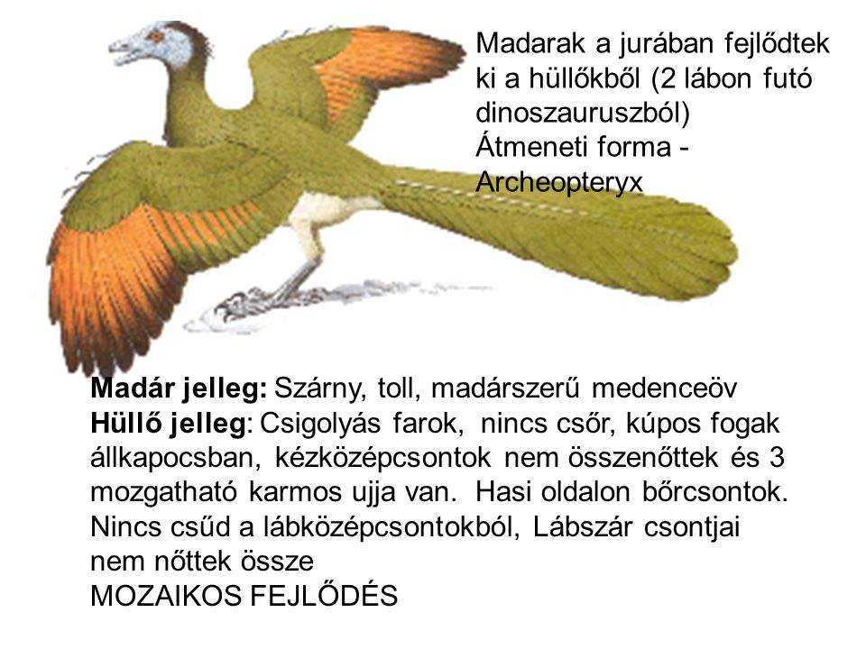 Madarak a jurában fejlődtek ki a hüllőkből (2 lábon futó dinoszauruszból)