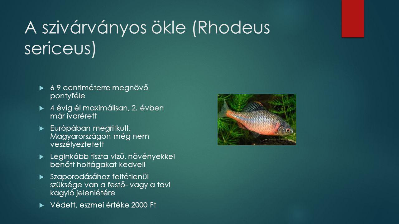 A szivárványos ökle (Rhodeus sericeus)