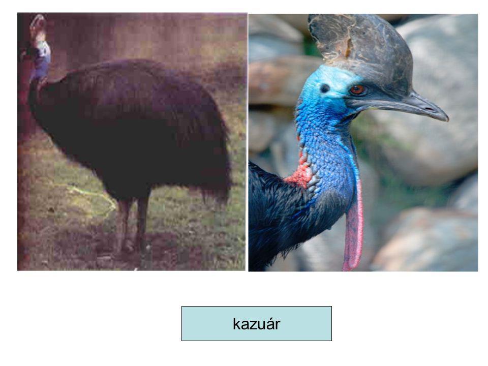 kazuár