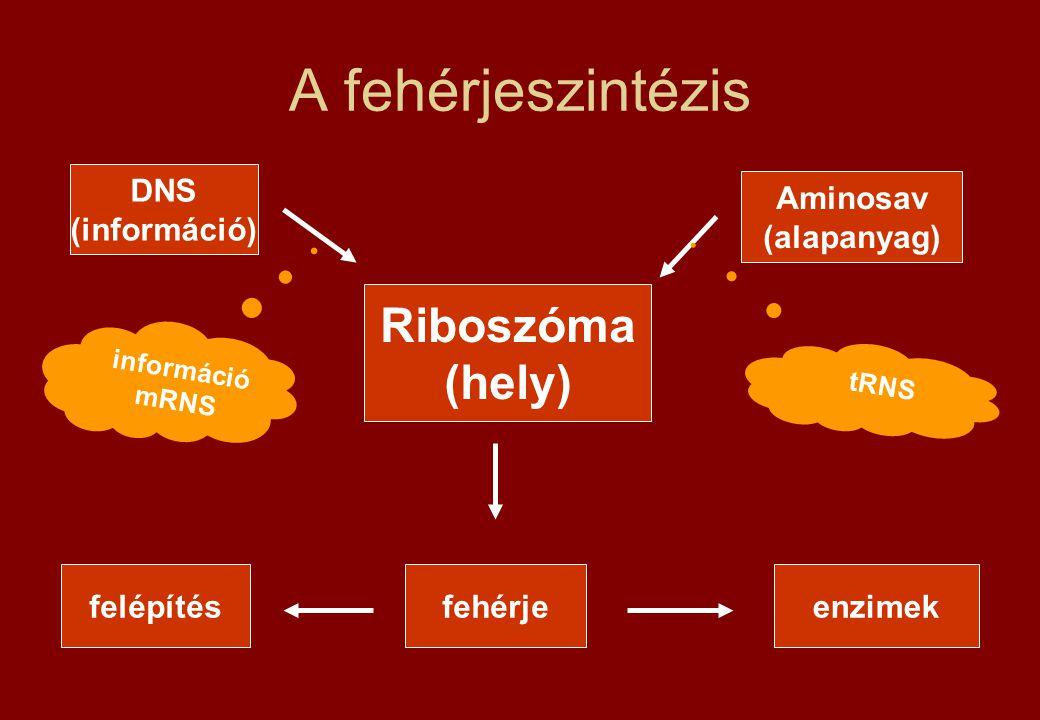 A fehérjeszintézis Riboszóma (hely) DNS (információ)