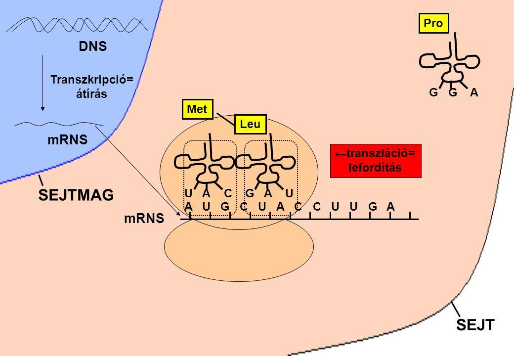 SEJTMAG SEJT DNS mRNS mRNS G G A Pro Transzkripció= átírás Met G A U