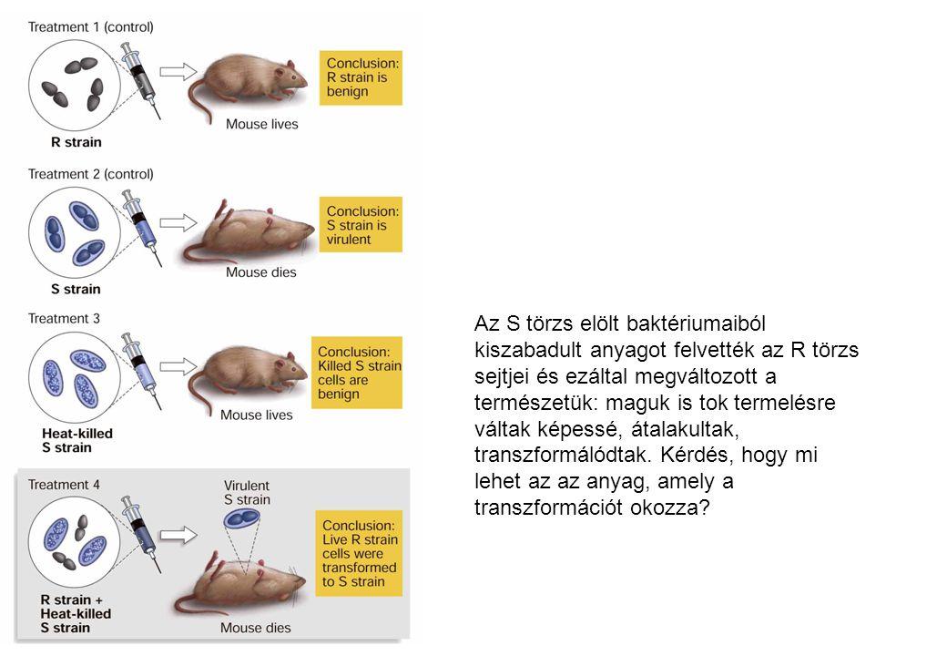 Az S törzs elölt baktériumaiból kiszabadult anyagot felvették az R törzs sejtjei és ezáltal megváltozott a természetük: maguk is tok termelésre váltak képessé, átalakultak, transzformálódtak.
