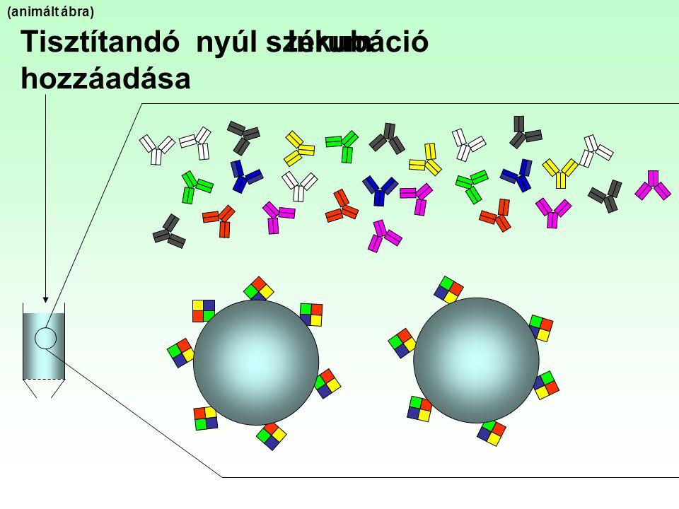 Tisztítandó nyúl szérum hozzáadása Inkubáció