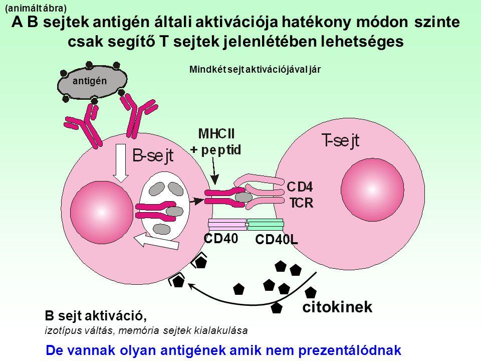(animált ábra) A B sejtek antigén általi aktivációja hatékony módon szinte csak segítő T sejtek jelenlétében lehetséges.