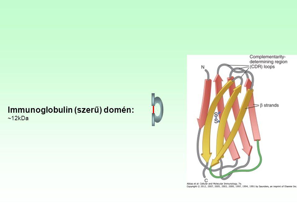 Immunoglobulin (szerű) domén: