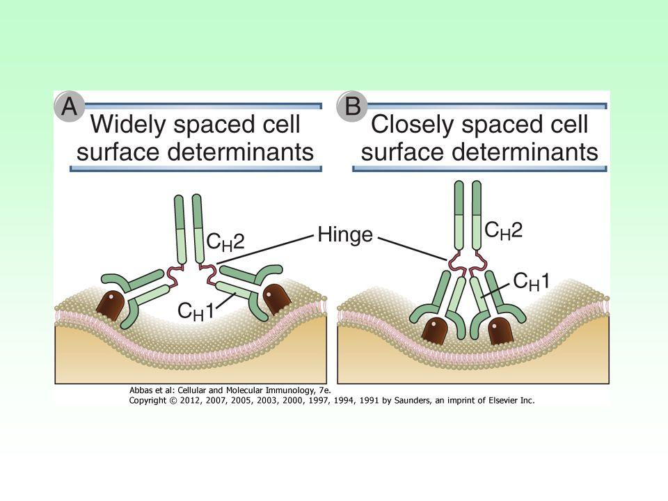 A kapocs régió segíti az ellenanyag alkalmazkodását az antigén felszínén jelenlevő epitopokhoz