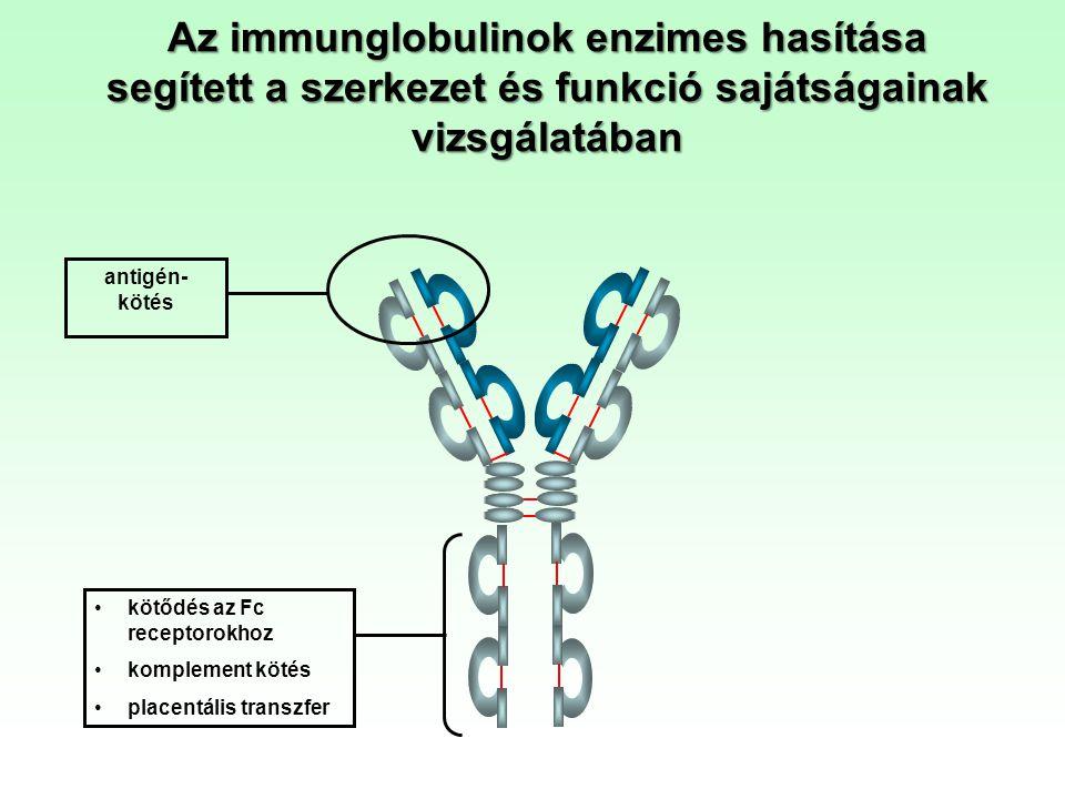 Az immunglobulinok enzimes hasítása segített a szerkezet és funkció sajátságainak vizsgálatában