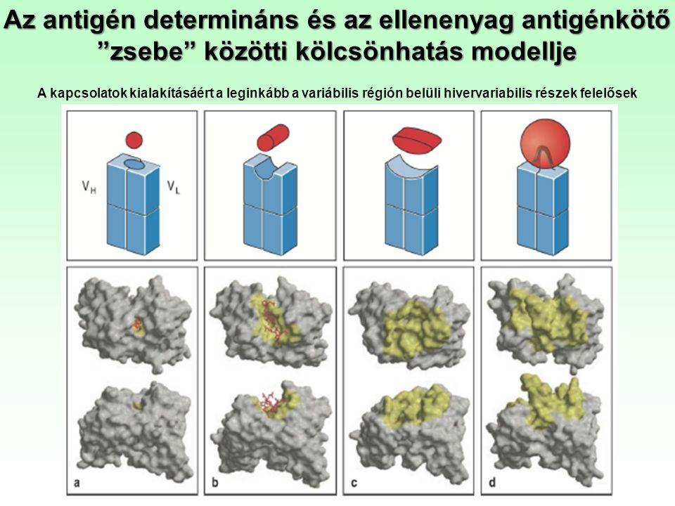 Az antigén determináns és az ellenenyag antigénkötő zsebe közötti kölcsönhatás modellje