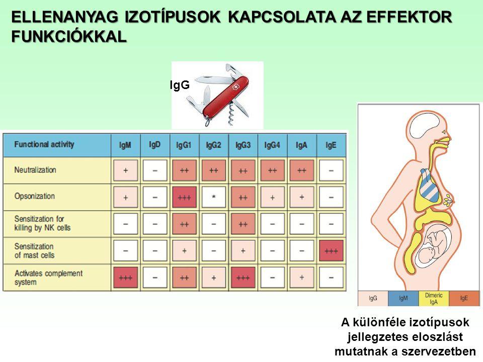 A különféle izotípusok jellegzetes eloszlást mutatnak a szervezetben