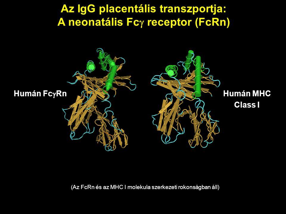 Az IgG placentális transzportja: A neonatális Fcg receptor (FcRn)