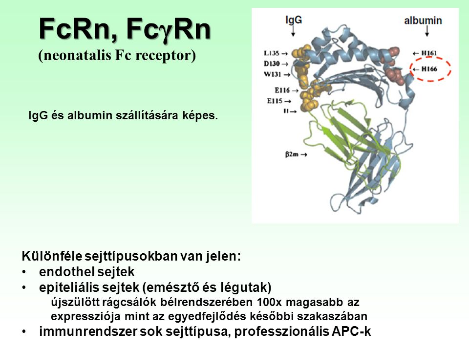 FcRn, FcγRn (neonatalis Fc receptor)