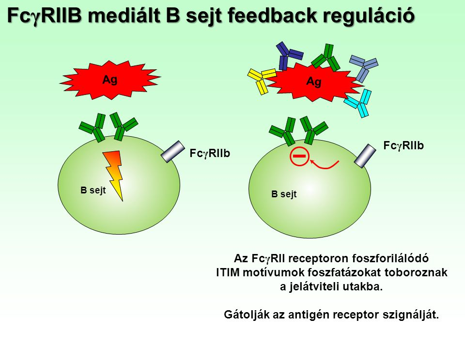 FcγRIIB mediált B sejt feedback reguláció