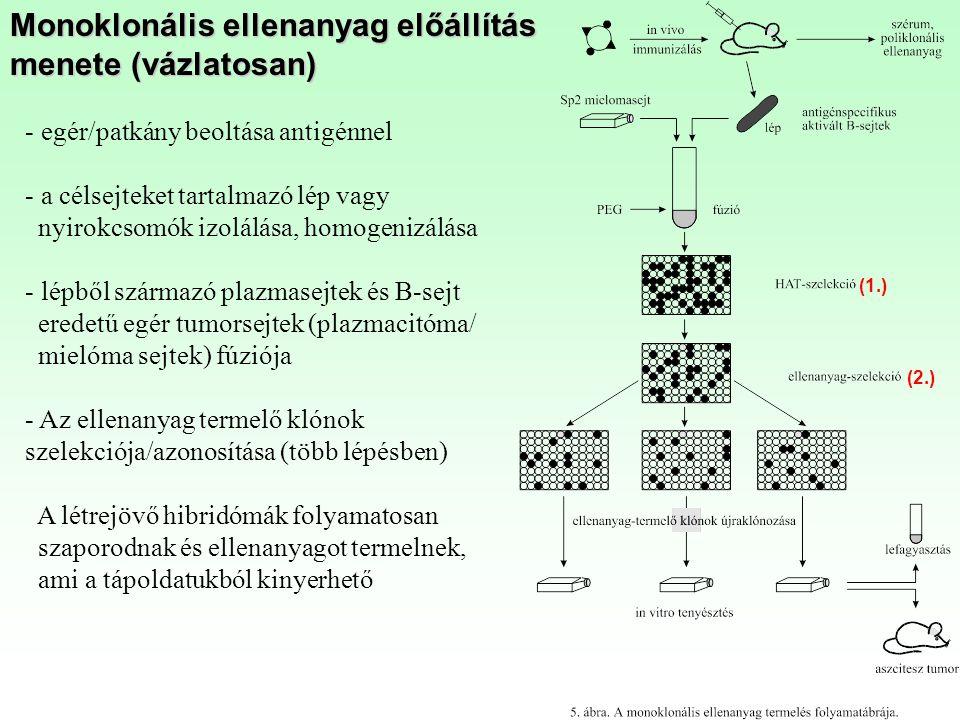 Monoklonális ellenanyag előállítás menete (vázlatosan)