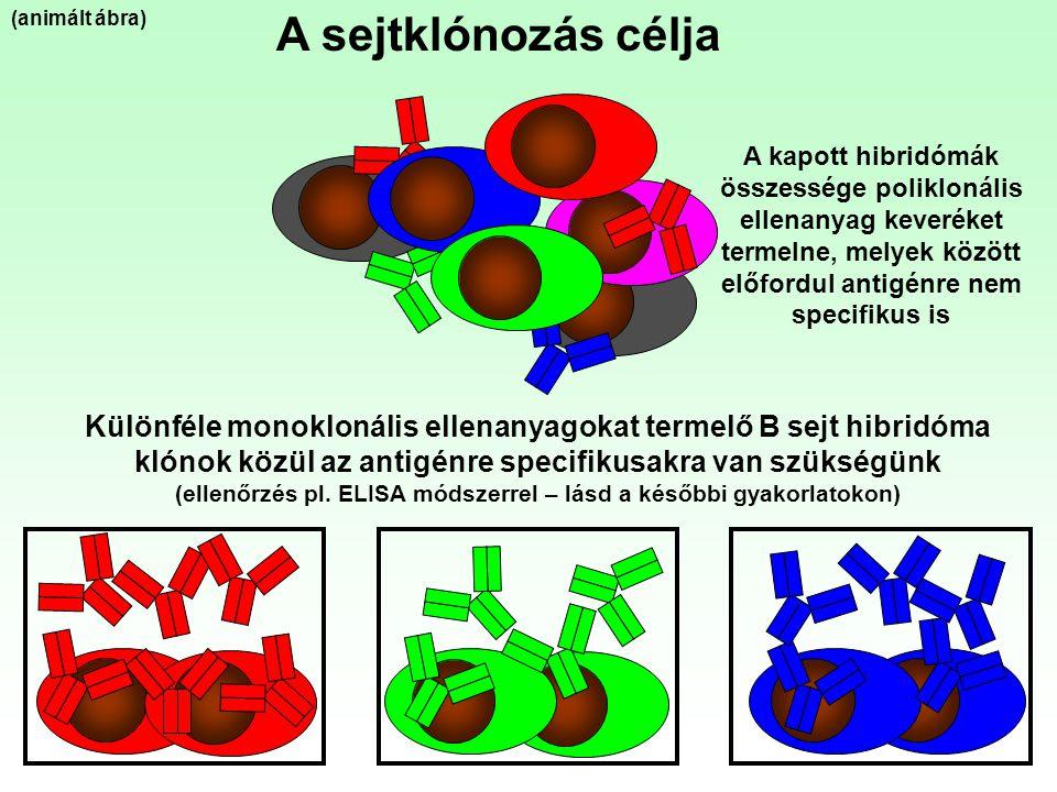 (ellenőrzés pl. ELISA módszerrel – lásd a későbbi gyakorlatokon)