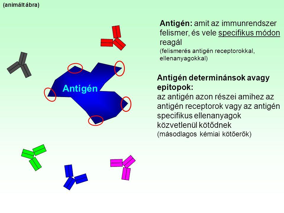 (animált ábra) Antigén: amit az immunrendszer felismer, és vele specifikus módon reagál. (felismerés antigén receptorokkal, ellenanyagokkal)