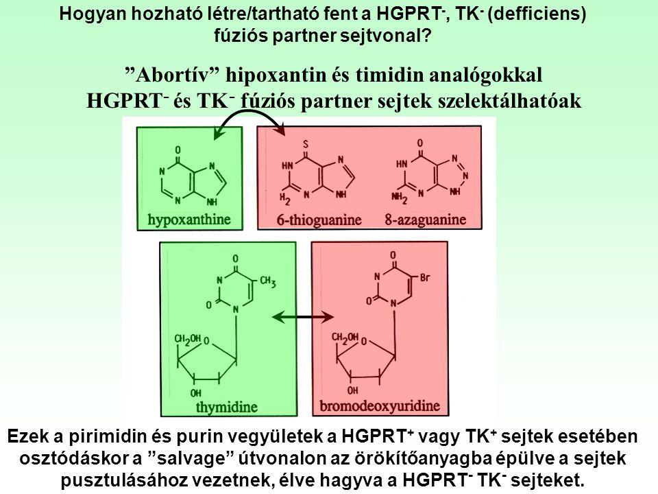 Abortív hipoxantin és timidin analógokkal