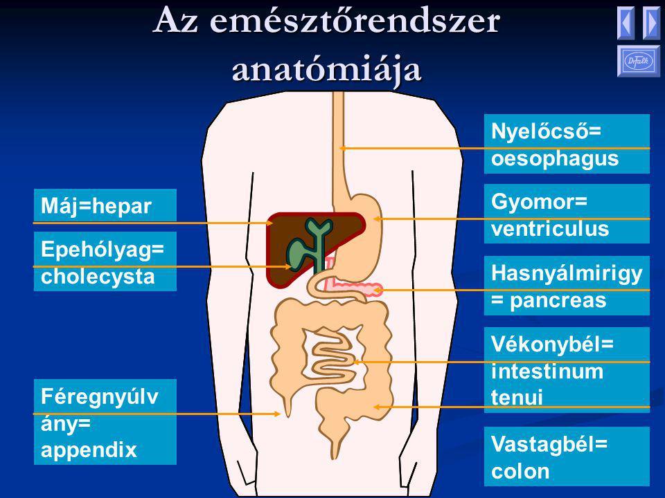 Az emésztőrendszer anatómiája