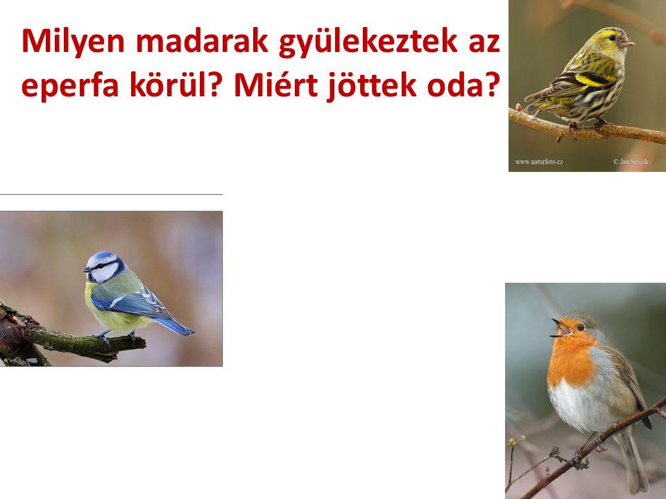 Milyen madarak gyülekeztek az eperfa körül Miért jöttek oda