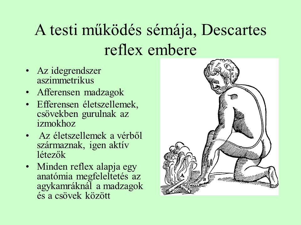 A testi működés sémája, Descartes reflex embere