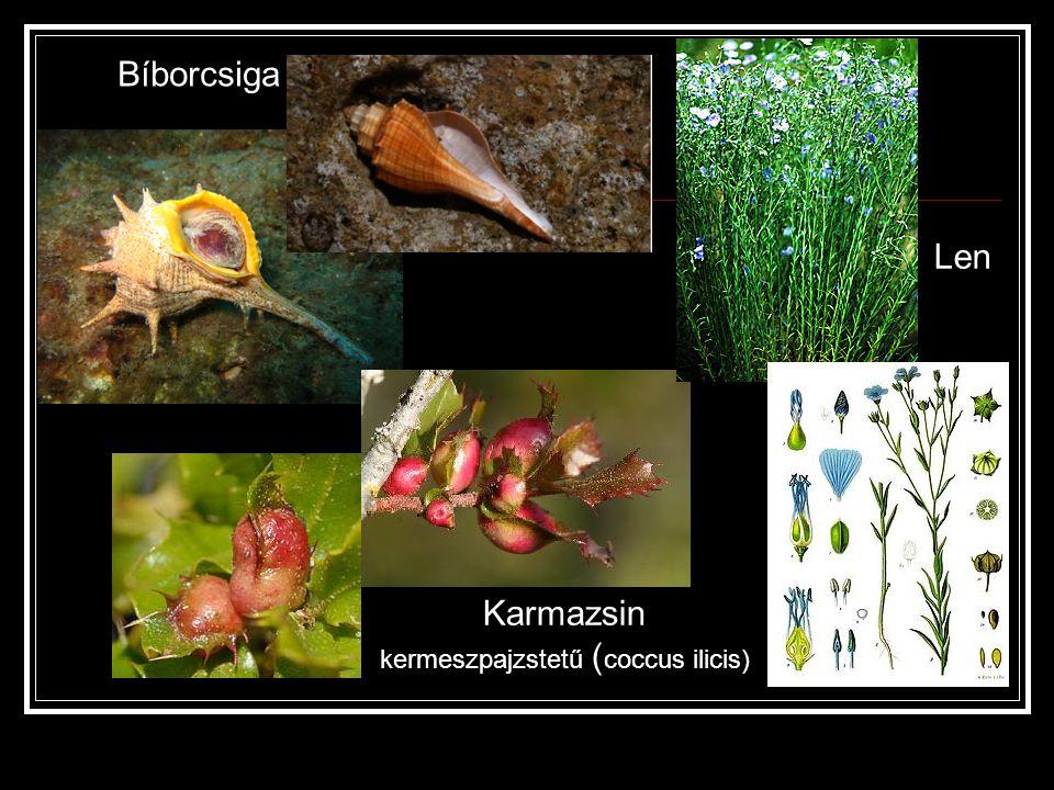 Karmazsin kermeszpajzstetű (coccus ilicis)