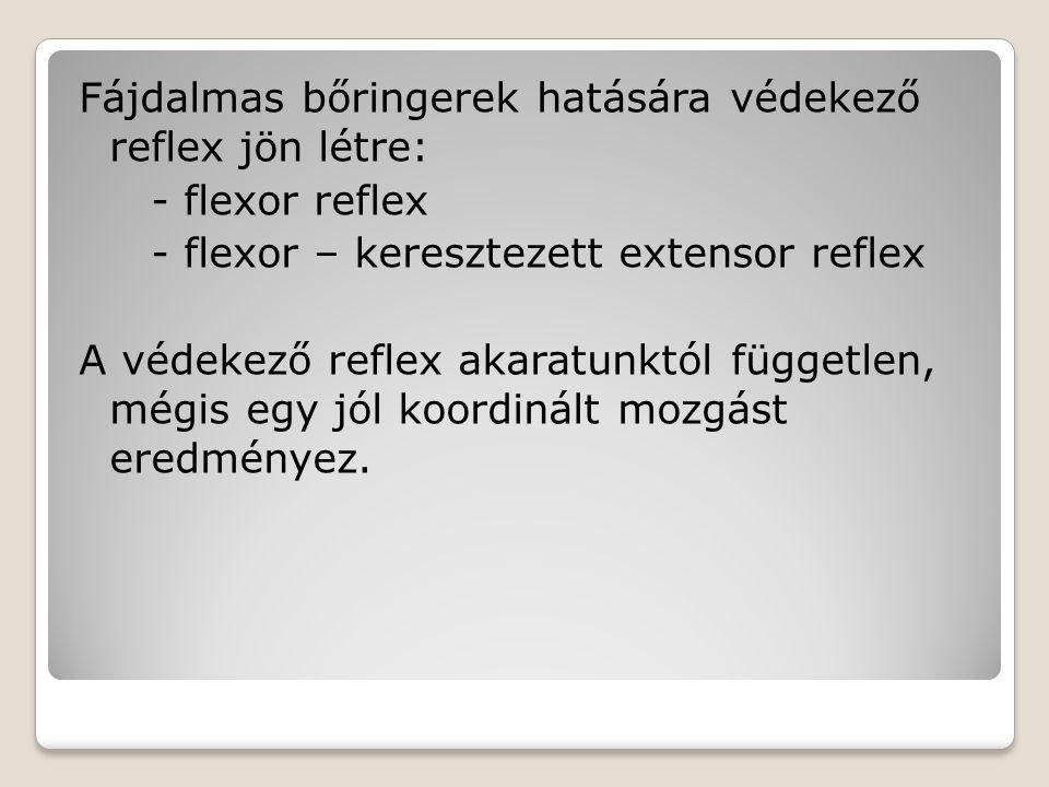 Fájdalmas bőringerek hatására védekező reflex jön létre: - flexor reflex - flexor – keresztezett extensor reflex A védekező reflex akaratunktól független, mégis egy jól koordinált mozgást eredményez.