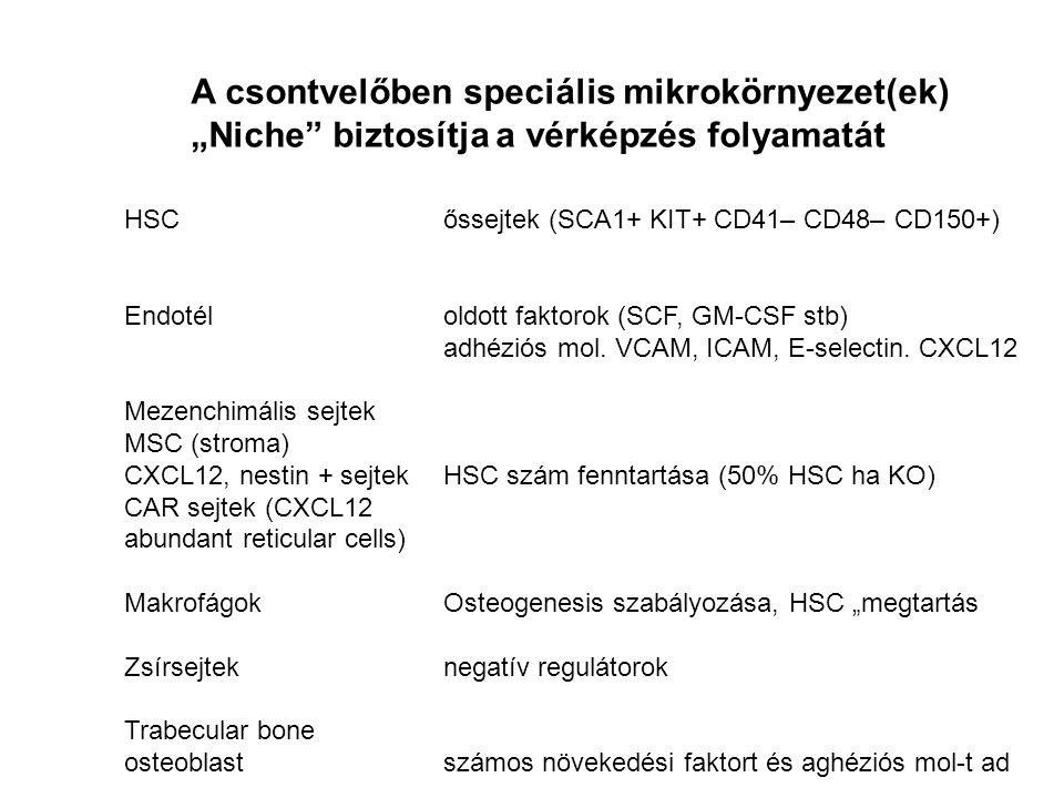 A csontvelőben speciális mikrokörnyezet(ek)