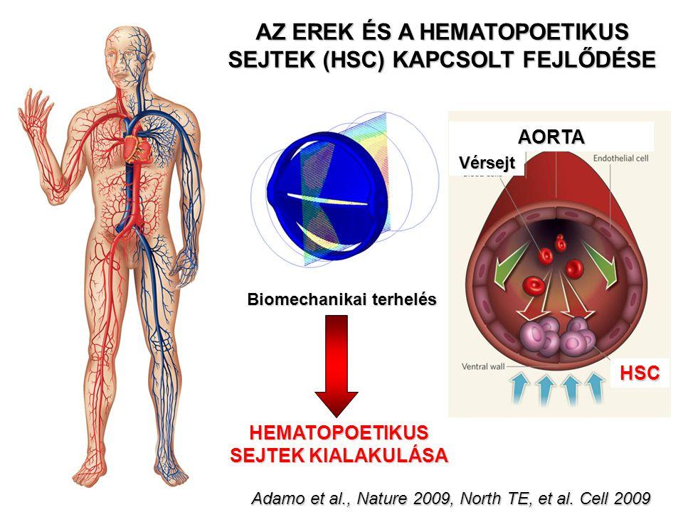 AZ EREK ÉS A HEMATOPOETIKUS SEJTEK (HSC) KAPCSOLT FEJLŐDÉSE