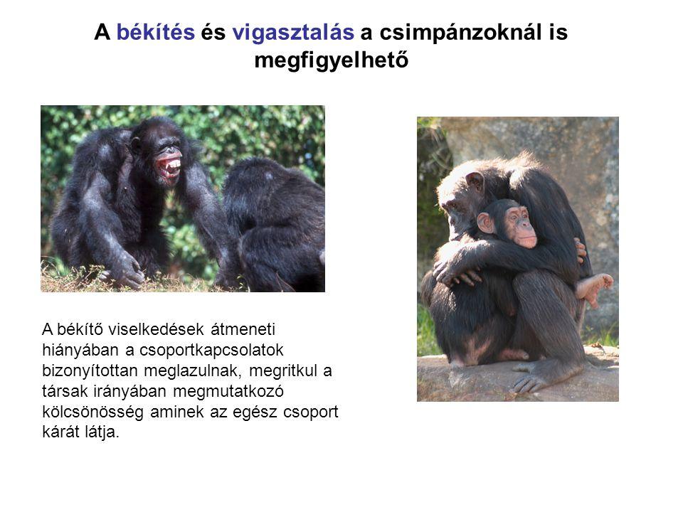 A békítés és vigasztalás a csimpánzoknál is megfigyelhető