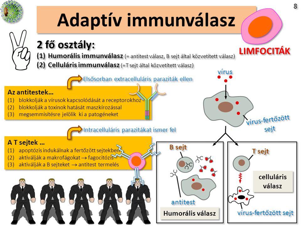 Adaptív immunválasz 2 fő osztály: LIMFOCITÁK 8