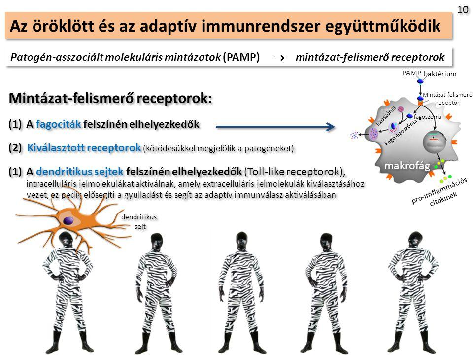 Az öröklött és az adaptív immunrendszer együttműködik