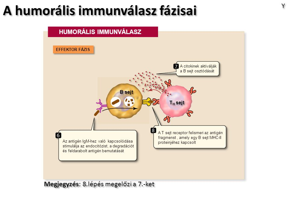 A humorális immunválasz fázisai