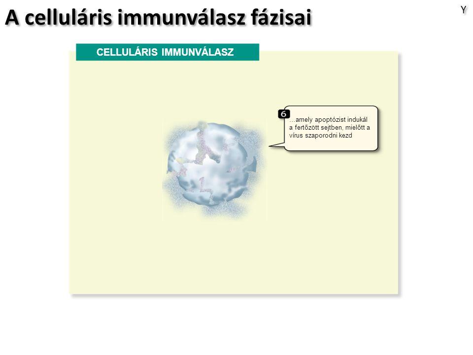 A celluláris immunválasz fázisai