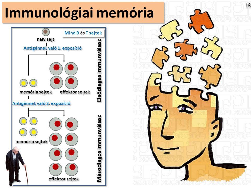 Immunológiai memória 18 Elsődleges immunválasz Másodlagos immunválasz