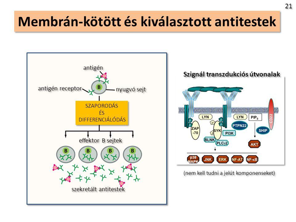 Membrán-kötött és kiválasztott antitestek