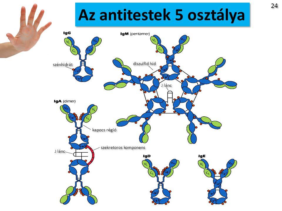 Az antitestek 5 osztálya