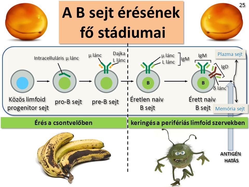 A B sejt érésének fő stádiumai