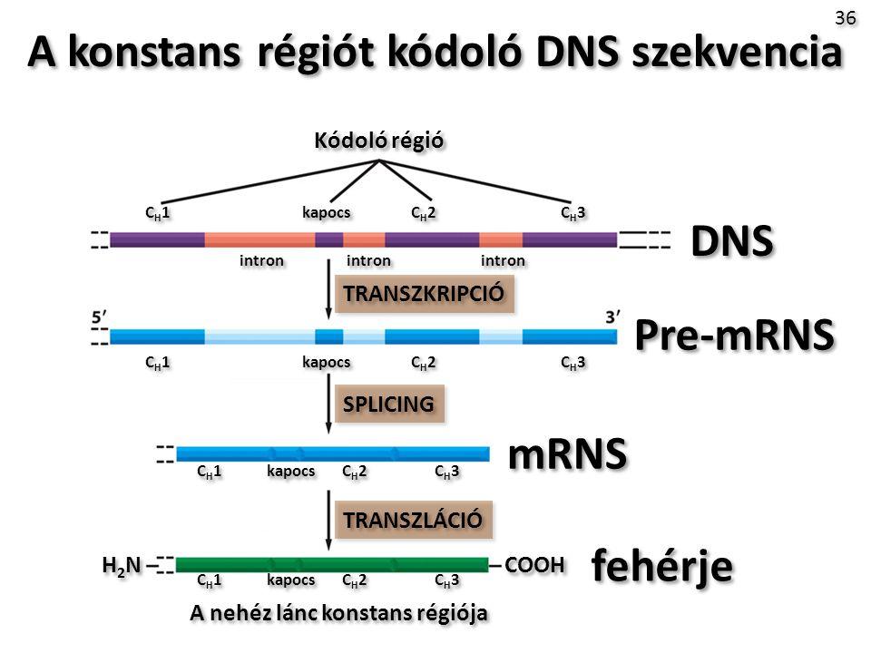 A konstans régiót kódoló DNS szekvencia
