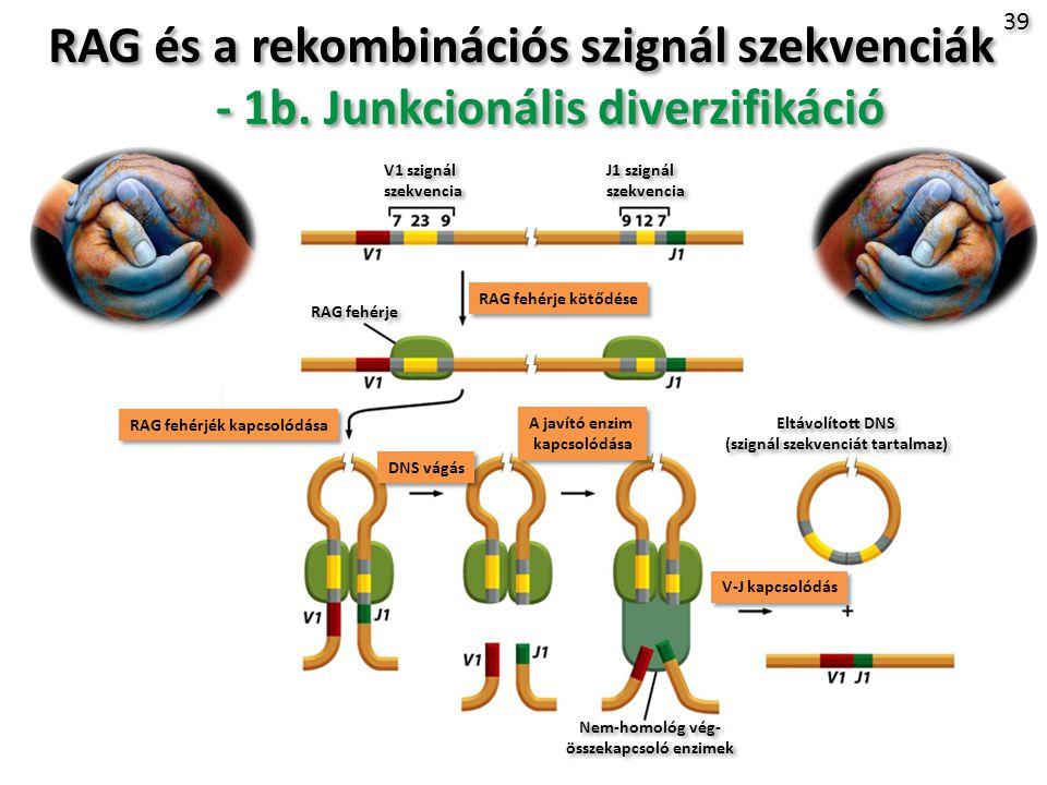 RAG és a rekombinációs szignál szekvenciák