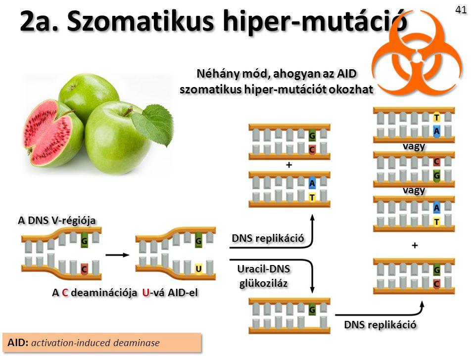 2a. Szomatikus hiper-mutáció
