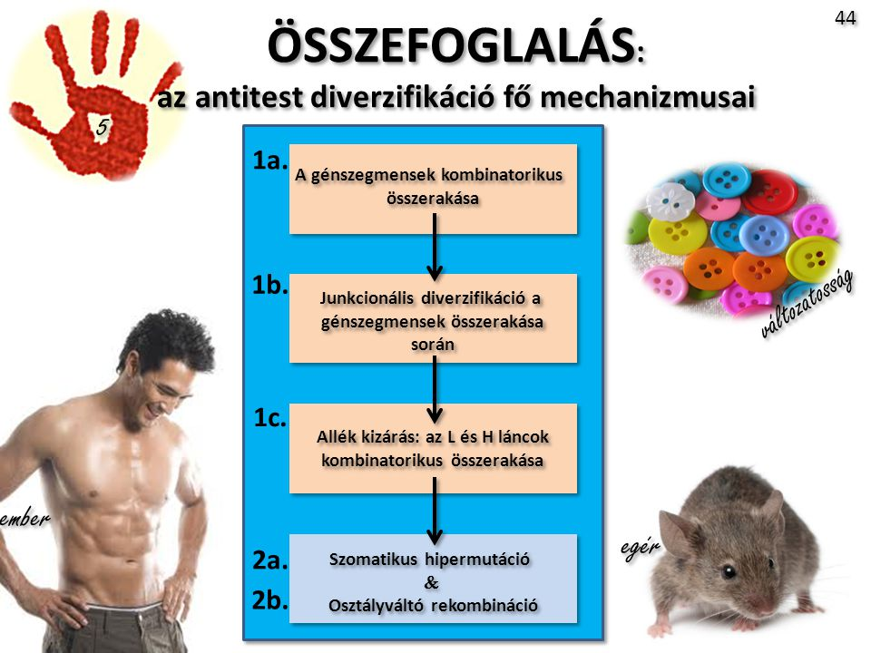 ÖSSZEFOGLALÁS: az antitest diverzifikáció fő mechanizmusai 5