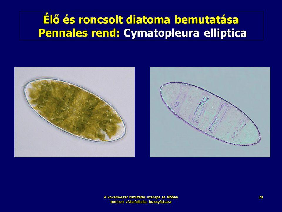 Élő és roncsolt diatoma bemutatása Pennales rend: Cymatopleura elliptica