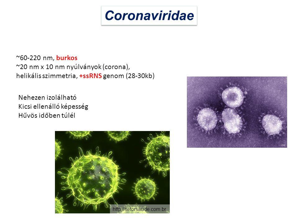Coronaviridae ~60-220 nm, burkos ~20 nm x 10 nm nyúlványok (corona),