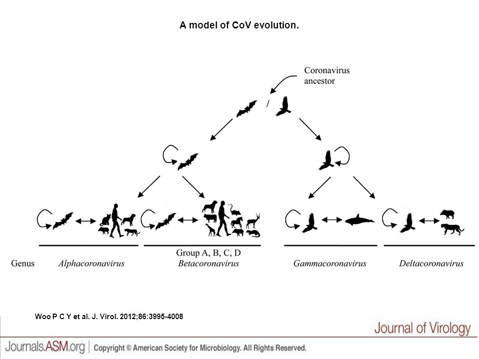 A model of CoV evolution.