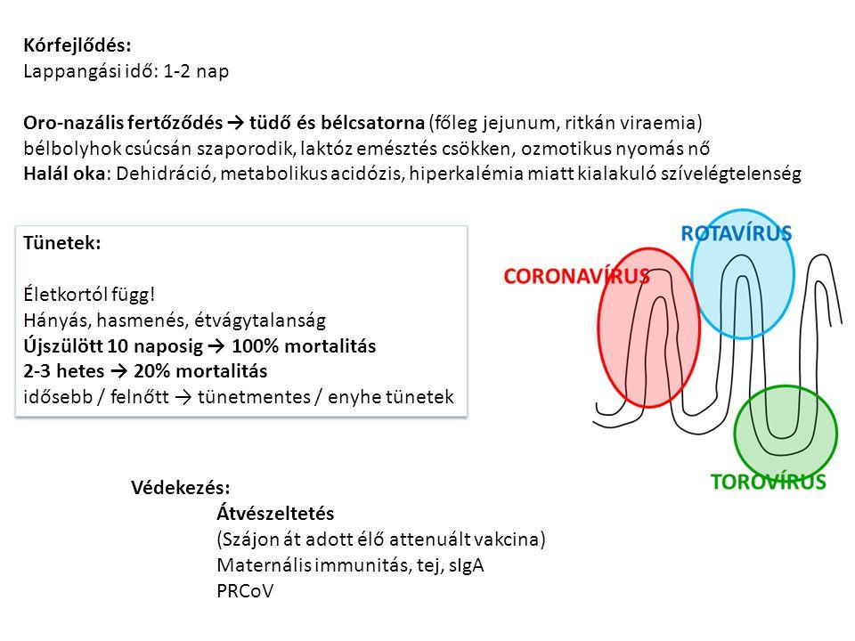 Kórfejlődés: Lappangási idő: 1-2 nap. Oro-nazális fertőződés → tüdő és bélcsatorna (főleg jejunum, ritkán viraemia)