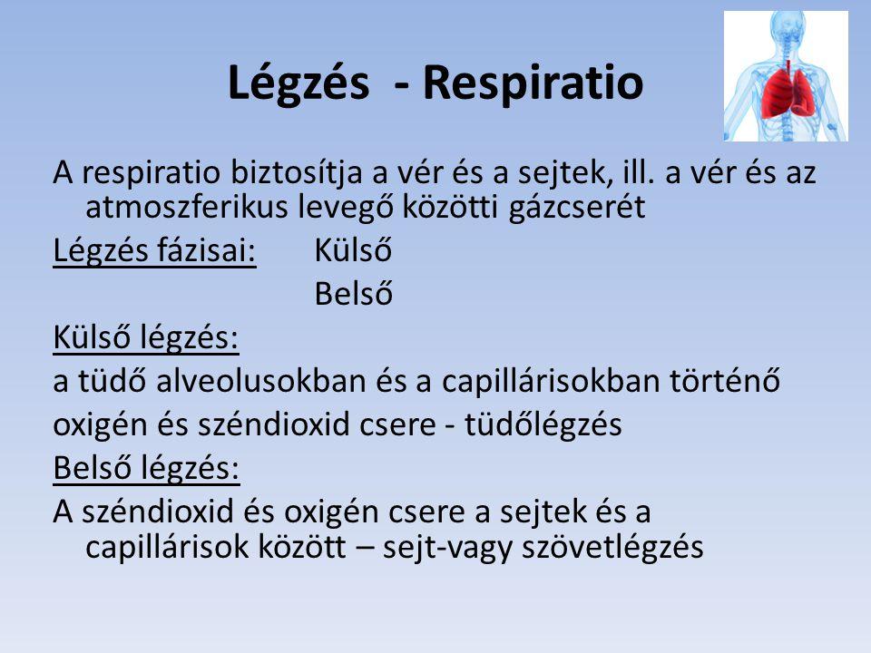 Légzés - Respiratio A respiratio biztosítja a vér és a sejtek, ill. a vér és az atmoszferikus levegő közötti gázcserét.