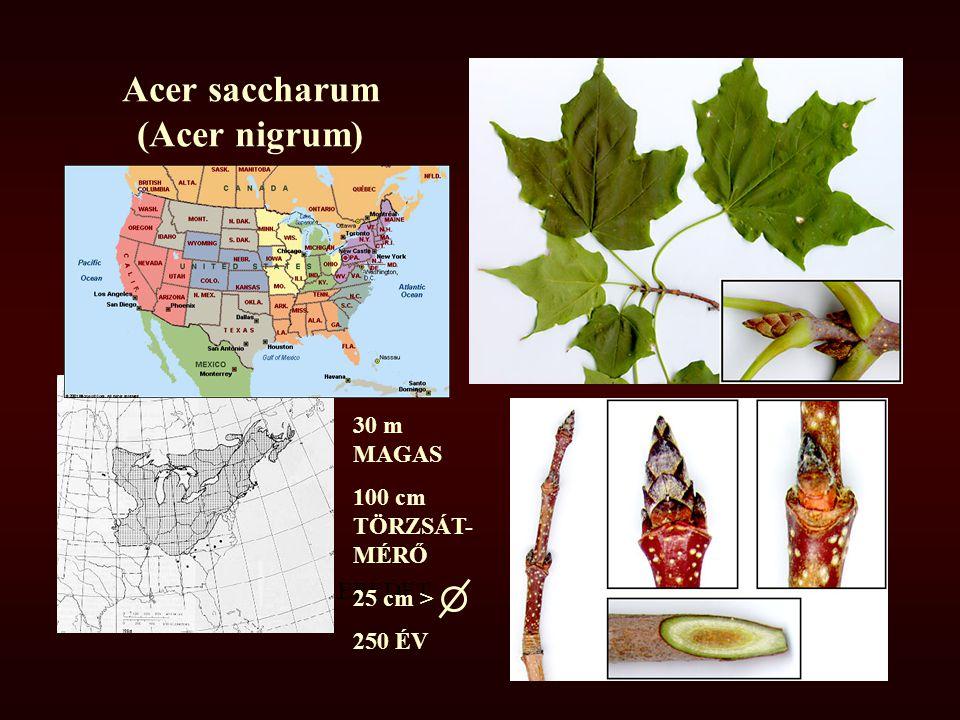Acer saccharum (Acer nigrum)