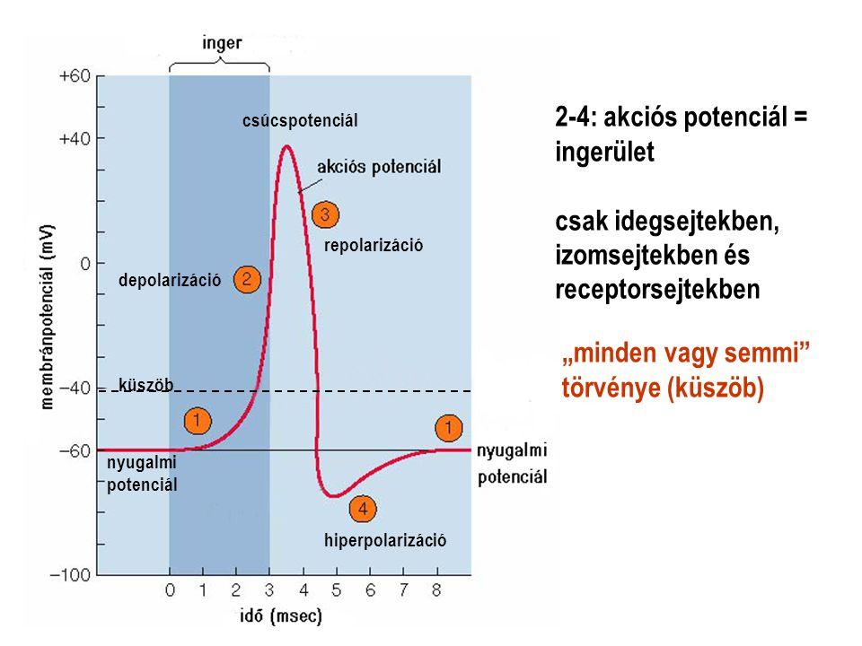 2-4: akciós potenciál = ingerület csak idegsejtekben, izomsejtekben és