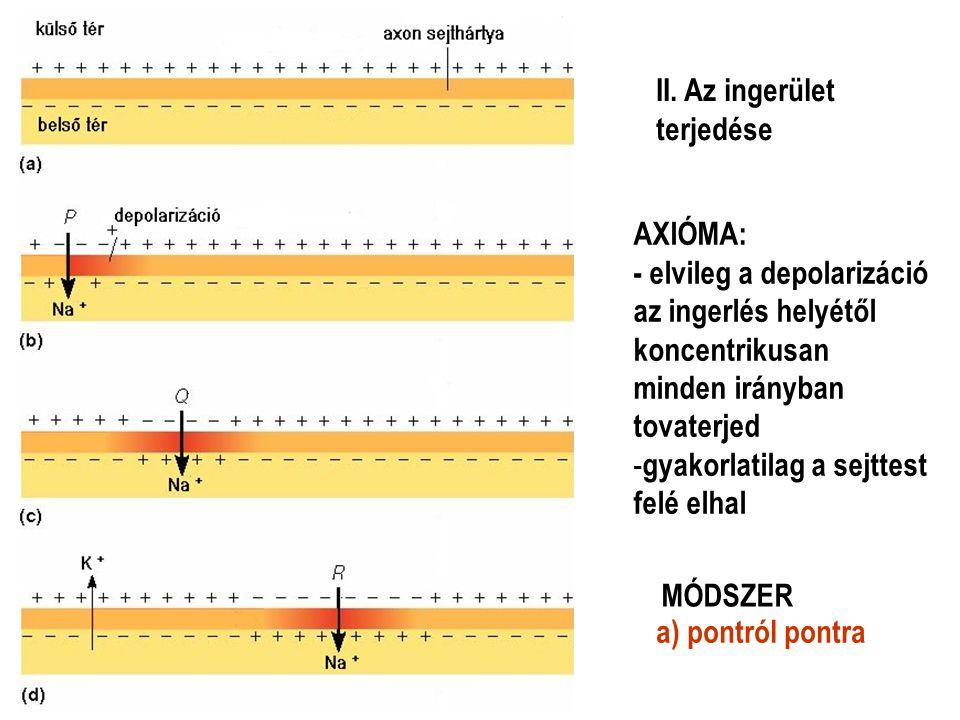II. Az ingerület terjedése. AXIÓMA: - elvileg a depolarizáció. az ingerlés helyétől. koncentrikusan.