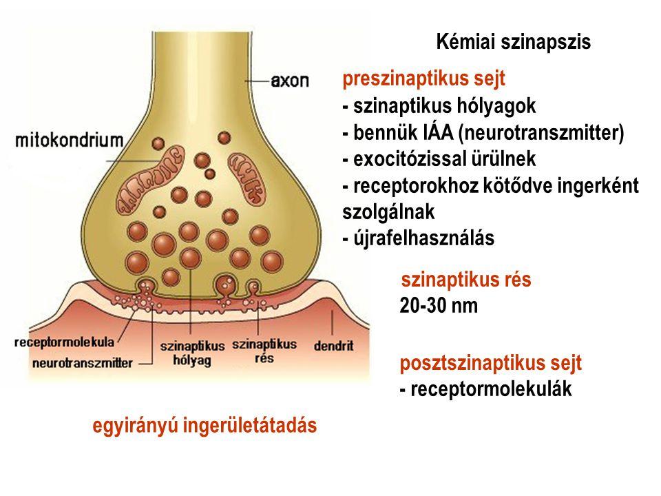 Kémiai szinapszis preszinaptikus sejt. szinaptikus rés. posztszinaptikus sejt. - szinaptikus hólyagok.